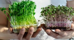 Microgreen Solusi Baru Berkebun di Dalam Rumah