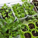 sayuran yang mudah ditanam dan cepat panen